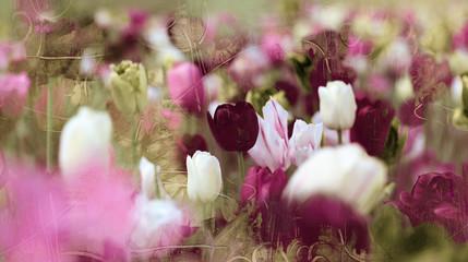Fotoväggar - tinted tulips concept