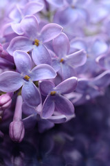 The flowers of lilac closeup