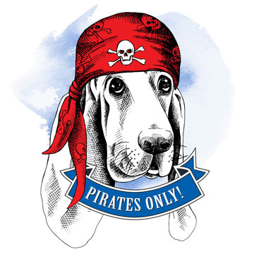 Portrait of a Basset Hound dog wearing a pirate's bandana with the image of a skull. Vector illustration.