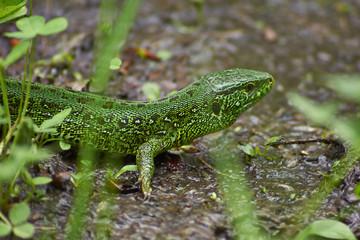 Green lizard of dry grass.