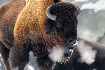 Poster Bison American bison (Bison bison) breathing in cold winter