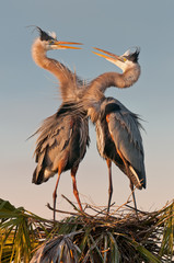 Pair of mating great blue herons on nest