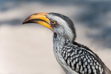 hornbill in KrugerNationalPark,Botswana,South Africa