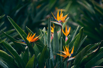 Strelitzia flowers blossoming during spring in garden