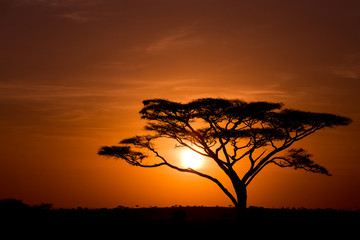 Acacia Tree against sunrise in the Serengeti in Tanzania