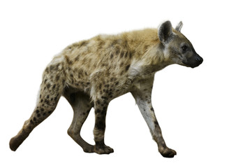 Acrylic Prints Hyena Spotted hyena