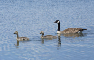 Canada Geese lead their young goslings - Colorado