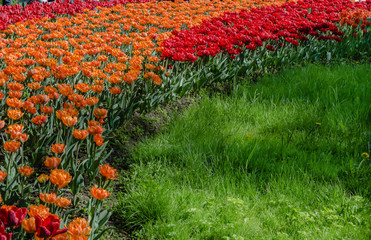 Flowerbed of red and orange tulips on the background of bright green grass