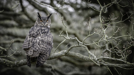 Wall Mural - European Eagle Owl 2