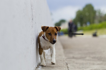 Puppy Jack Russell Terrier for a walk in the city