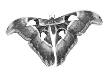 butterfly in black and white style
