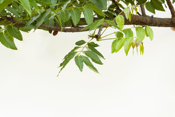 A branch of Azadirachta indica, neem tree showing compound leave