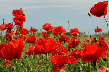 Red poppies in sunny day