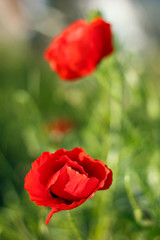Red poppy flowers on the field with blurred background