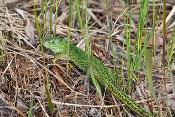 Sand lizard (Lacerta agilis).