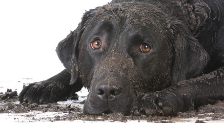 dirty muddy dog