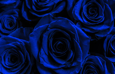 dark blue roses isolated on a black background. greeting card wi