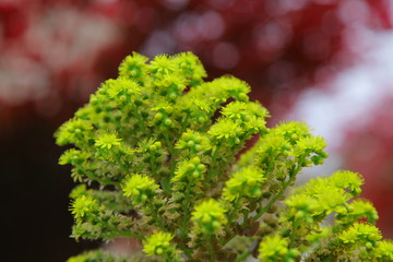 branches of young pine shrub, coniferous plant in the cypress family Cupressaceae. Dragon Juniper's leaves(Juniperus chinensis). Garden design and landscaping. Selective focus