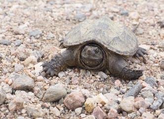 Turtle in the garden - Colorado