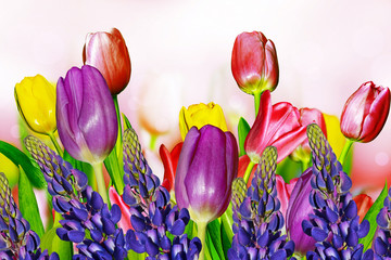 Spring flowers blue lupine and colorful tulips