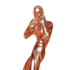 3d render of a male muscular anatomy in defence pose