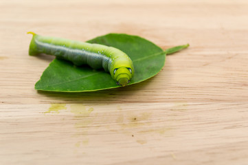 Green caterpillars or green worm on wood background
