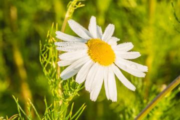 Цветок полевой ромашки