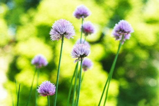 Schnittlauch (Allium schoenoprasum) Gartenkräuter in der Blüte im Frühjahr