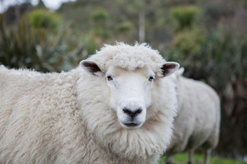close up merino sheep in new zealand livestock farm