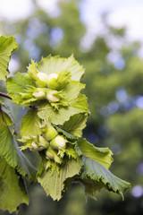 unripe hazelnuts on a tree branch