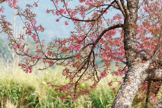Wild himalayan cherry (Prunus cerasoides) with cherry blossom