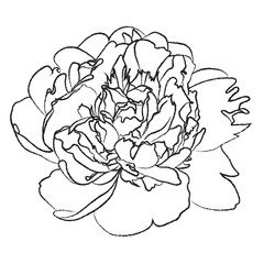 Black and white illustration of a large peony flower