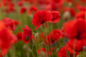 Field of red poppies. Natural background