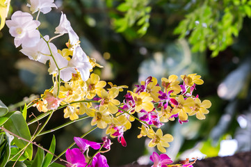 Yellow and Pink Orchid