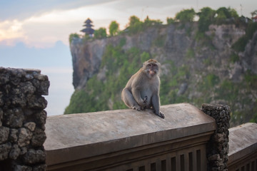 Monkeys at the temple of Uluwatu on the island of Bali, Indonesia