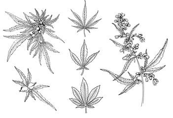 Cannabis leafs vector