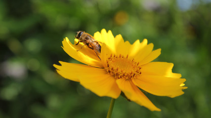 coreopsis. bee after pollination prepares to fly
