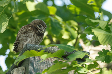 Little owl in nature