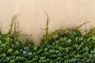 Dense foliage ivy on the beige wall