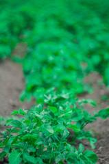 Potato bushes in the garden