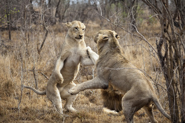 Two female lions playing