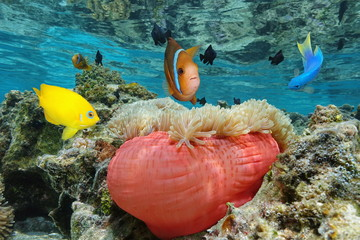 Colorful tropical fish with a Magnificent sea anemone in shallow water, Bora Bora, Pacific ocean, French Polynesia