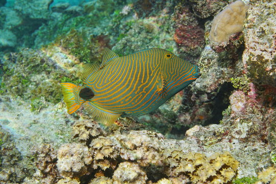Colorful tropical fish orange-lined triggerfish, Balistapus undulatus, Pacific ocean, underwater in the lagoon of Huahine island, French Polynesia