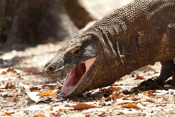 Drooling Komodo dragon biggest lizard at National Park. Indonesia.