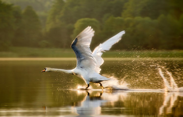 The swan starting in sunset light on lake in Mazuras, Poland