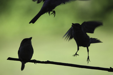 Black Sparrows Sitting on Branch and flying Silhouette