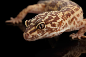 Closeup Head of Leopard Gecko Eublepharis macularius Isolated on Black Background