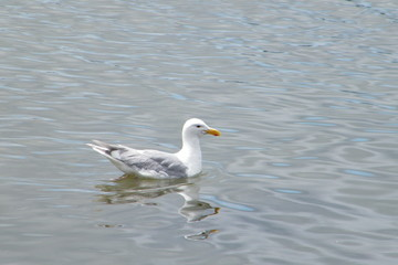 Seagull swimming with reflection