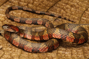 The brown-banded water snake is a species of aquatic snake found in tropical South America and Trinidad and Tobago.