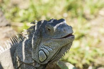 particolare della testa di un iguana all'ombra
